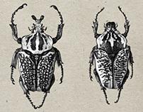 Goliath Beetle Rendering