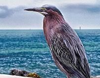 Key West Green Heron