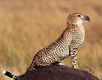 Eagle Cheetah