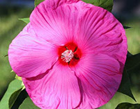 Exquisite Hibiscus