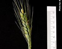 Wheat Photo shooting