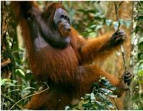 WWF- Save the Orangutans