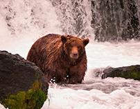 Bears of Alaska