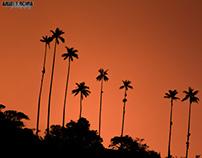 Wax Palm Tree, Quindío, Colombia