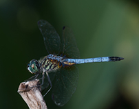Baby Dragonfly Macros