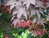 4 Seasons - Japanese Maple