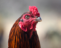 Sevalkattu (Rooster Duel) festival in South India