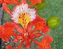 Delonix Regia, Flamboyant, Florida.
