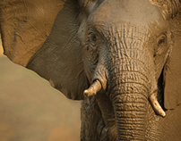 Elegant Elephants