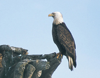 Wildlife-American Bald Eagle