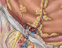 KenHub Anatomy Illustrations