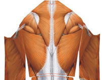 muscle - skin suit