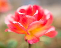 un-red roses