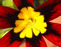 Sparaxis (Harlequin Flower)