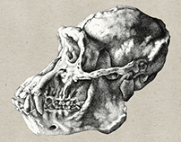 Comparative Study of a Human and Chimpanzee Skull