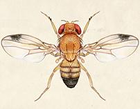 Drosophila biarmipes