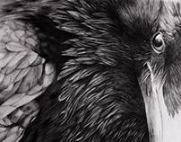 Raven - Pencil drawing
