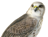 Saker Falcon