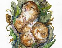 Hibernation : Dormouse
