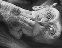 Photograph of Baby Chimp