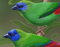Blue-faced Parrot Finch
