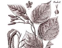 Aune à feuilles cordiformes - botanical drawing