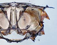 Under the Microscope - Water beetle metanotum