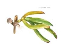 Scientific illustration: plant studies