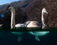 Swan_Underwater