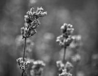 Last Lavender