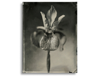 Wet Plate Collodion Flora