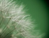 Dandelion monography