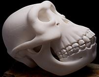Nature's Helmet The Human Skull
