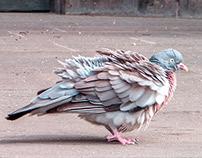 an angry pigeon