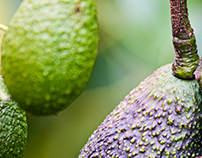 Tamborine Springs Avocado