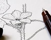 Scientific Botanical illustration 2006-2010