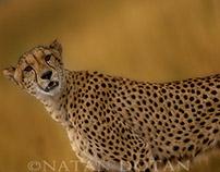 Cheetah - why?