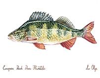 Fish wathercolors for fisherman's shop