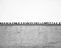 Pigeons de Montreal.